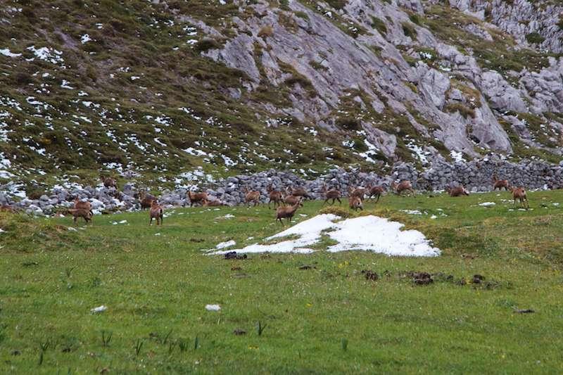 animales autoctonos en Picos de Europa